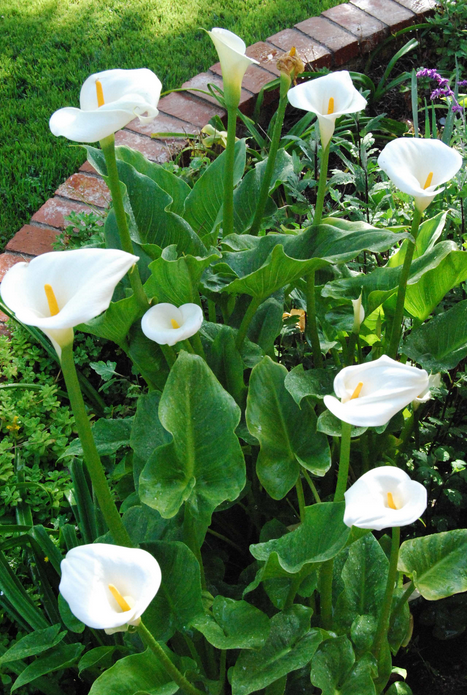 Calla-Lily-Growth