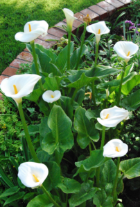 Tips for Successfully Growing Calla Lilies Flower with Bulbs