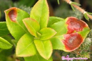Camellia Leaf Gall Disease and Effective Treatment