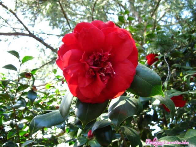Fertilizing-Camellias-Flower