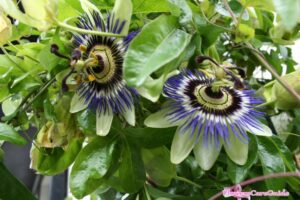 Tips for Taking Care of Passion Flower Indoors in Winter