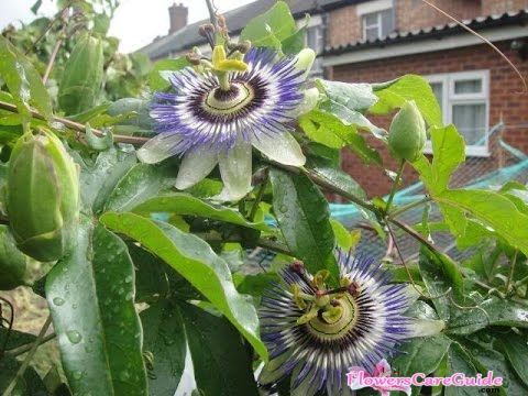 propagating-passion-flower