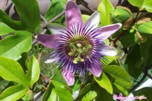 Propagating Passion Flower by Rooting Vine Cuttings and Growing Seeds