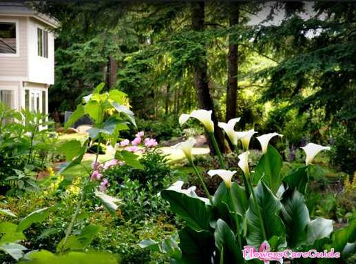 Cultivate-Calla-Lilies-Outdoor