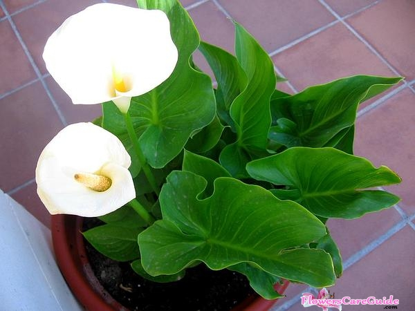 calla-lilly-grow-seed