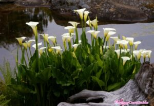 Instruction to Prepare Calla Lilies For Winter