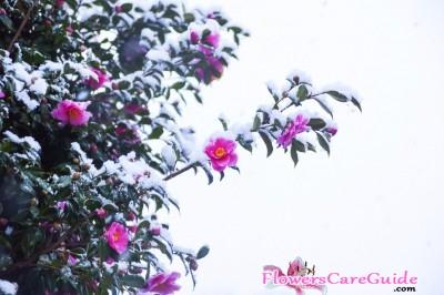 Camellia-Cold-Damage