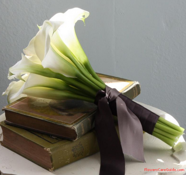 Calla-lilly-as-gift