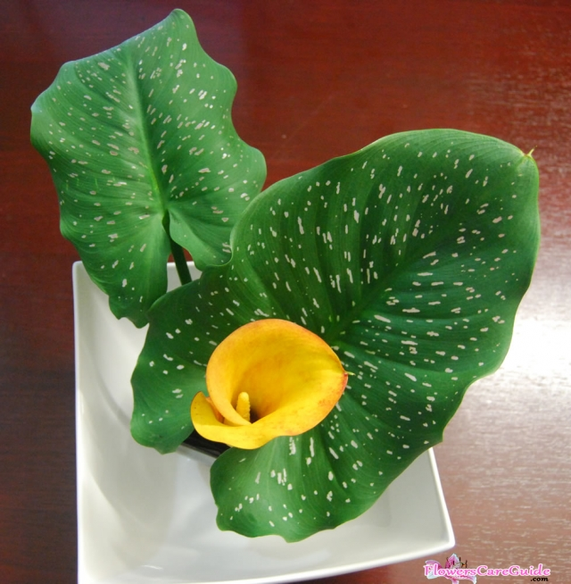 calla-lily-leaves