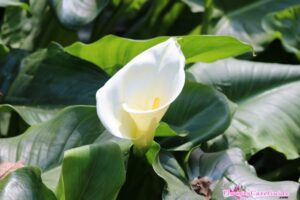 How to Take Care of Calla Lily – Instruction to Grow Calla Lily effectively