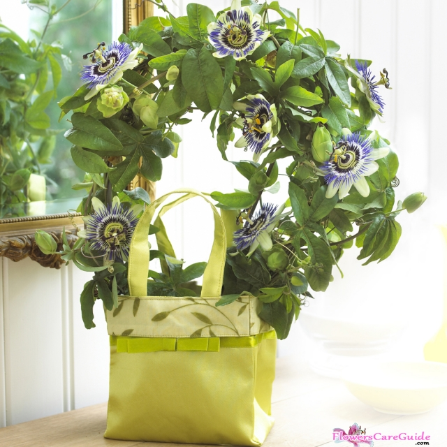 Growing Passion Flower Indoors: A Perfect Choice