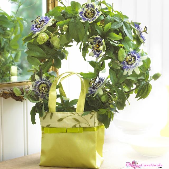 passion-flower-indoor