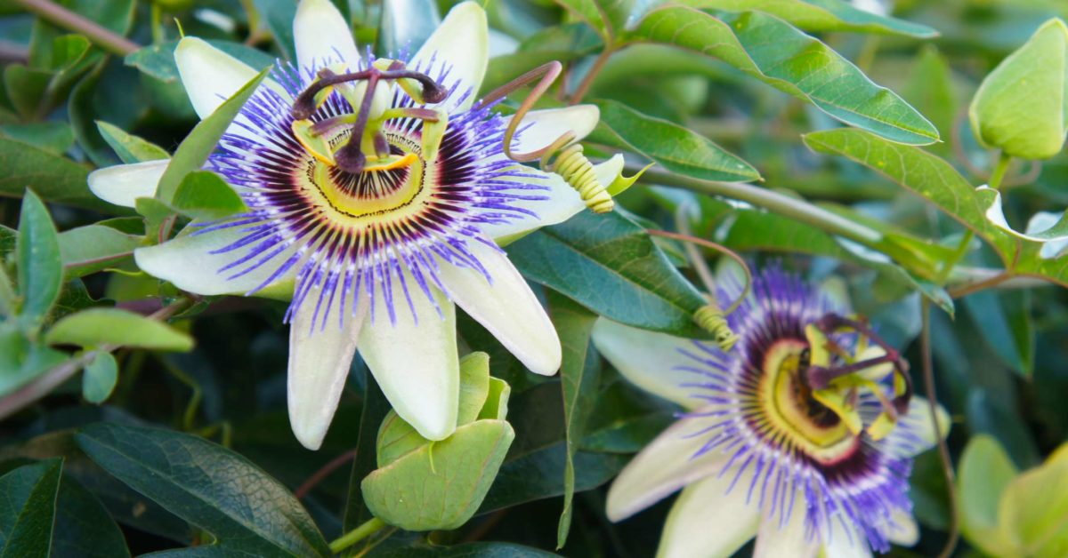 Which Factors Make Passion Flower Not Blooming