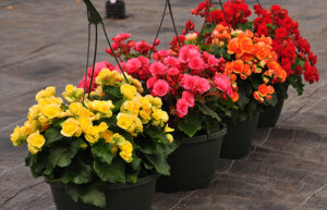 How to grow Rieger Begonia from seeds