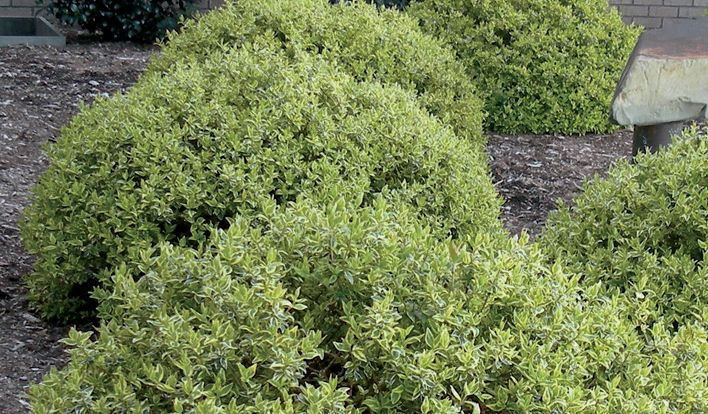 Tips to grow Radiance Abelia in your garden