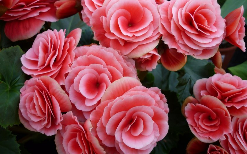 How to deadhead Rieger Begonias