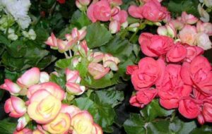 Rieger Begonia Caring Tips and Instructions