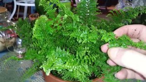 How to propagate and care for fluffy ruffle fern