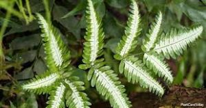 Silver Lace Fern Caring Tips: The Complete Guide