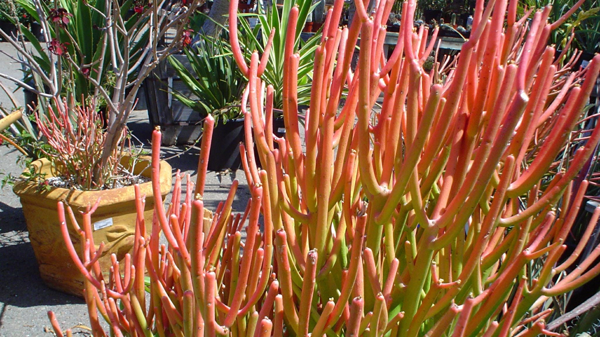 Firestick Plant: How to grow and care