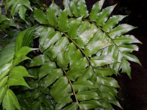 Holly Fern: How to Grow and Care