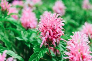 Jacobinia Pink: How to Grow and Care