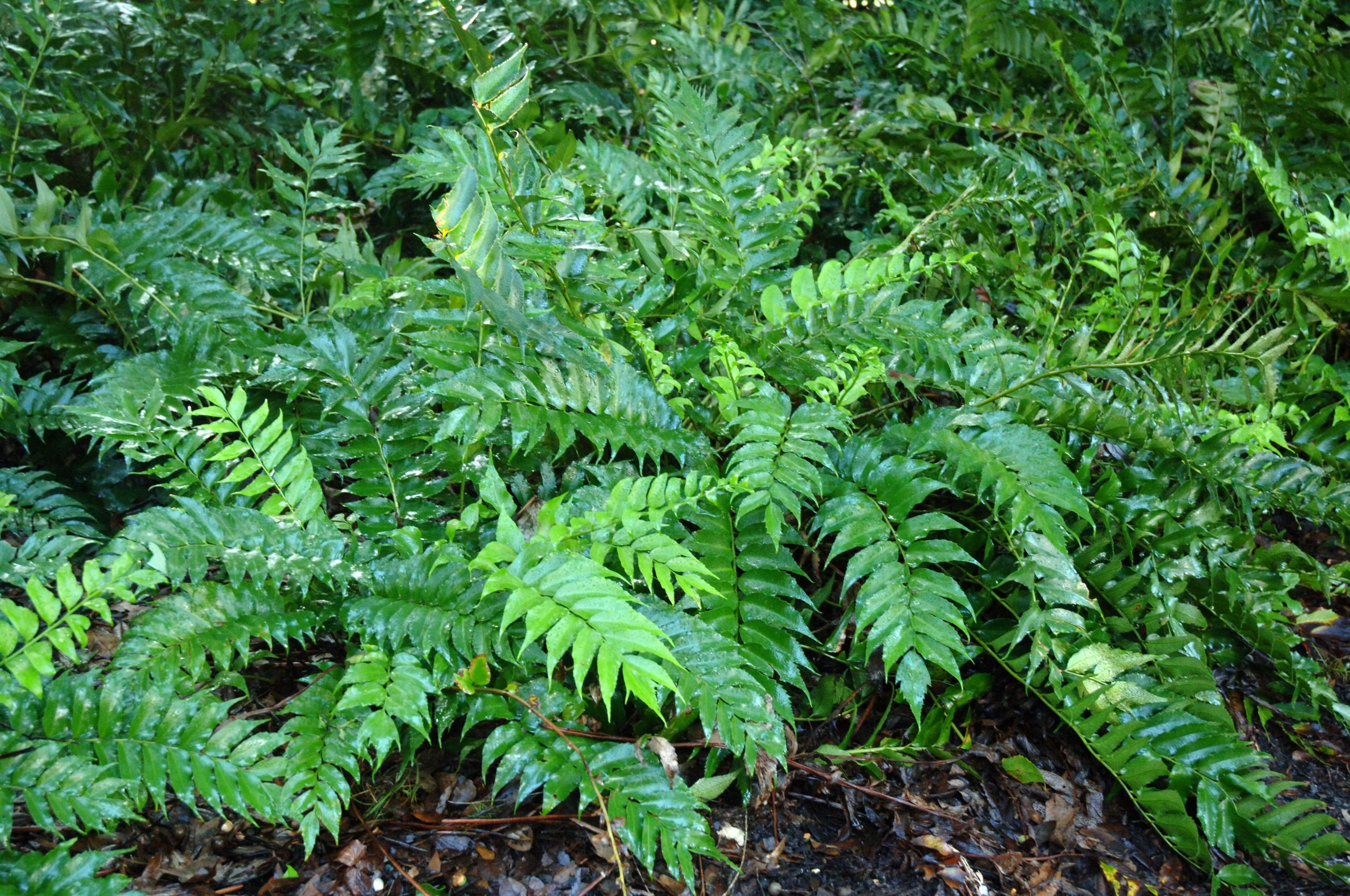 Japanese Holly Fern Caring Tips